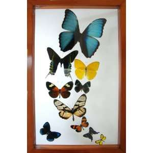 Morpho and Other Framed Butterflies Fathers Day Gift